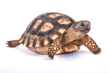 Chaco tortoise, Chelonoidis chilensis