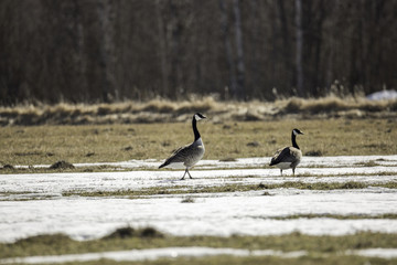 Canada Geese in Field with Snow