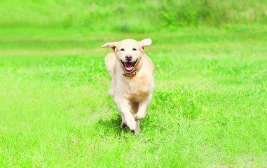 Happy Golden Retriever dog is running on the grass on a summer day