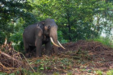 Слон пасется в джунглях.