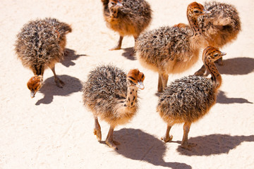 chicks ostrich in the farm