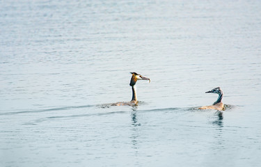 Couple of Great crested grebes (podiceps cristatus) with small fish in its beak on the lake