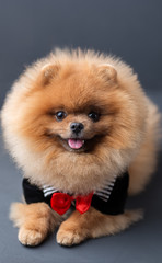 Pomeranian dog in a suit with a red butterfly on dark background. Portrait of a dog in a low key