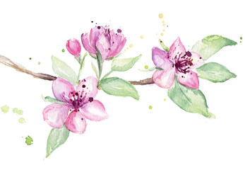 Cherry blossom branch, isolated. Watercolor painting