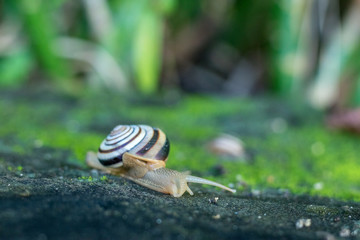 A Snail crawling on green moss in the tropical garden. Bali island, Indonesia.