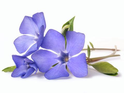 bright violet wild periwinkle flower