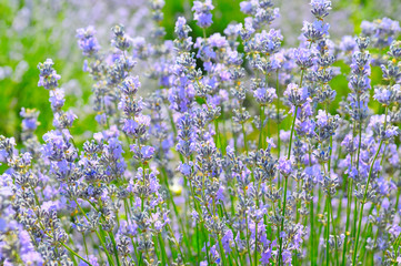 bush of blossoming lavender in the summer field