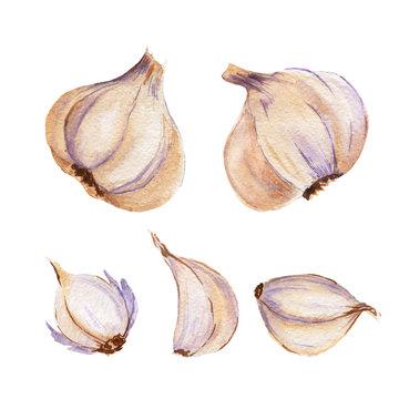 watercolor illustration of garlic vegetable on white
