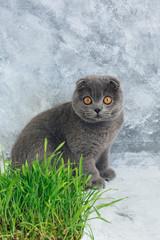 Scottish Fold Kitten with grass