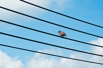 Alone bird on wires  with blue sky and clouds background