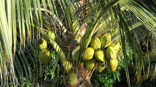 """""""Beautiful Tropical Coconut Tree In Hot Sunny Day, Close"""