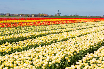 Tulip fields with windmill in Abbenes the Netherlands.