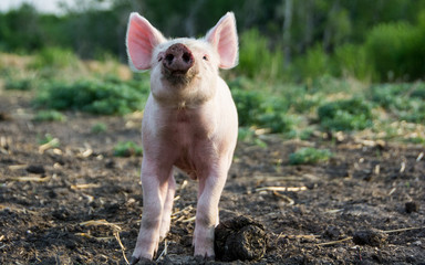 Piglet on the Farm