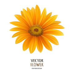 Hand drawn vector realistic illustration of Gerbera Daisy flower