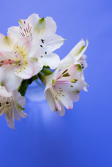 Beautiful tender bouquet of Alstroemeria on blue background