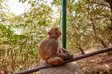Macaque sitting near stairs in India with forest view behind