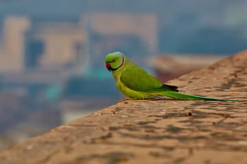 Green parrot in India on ancient wall close-up