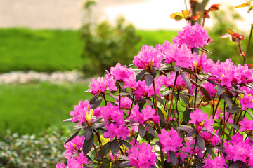 Azalea, flowering shrubs  member of the genus Rhododendron