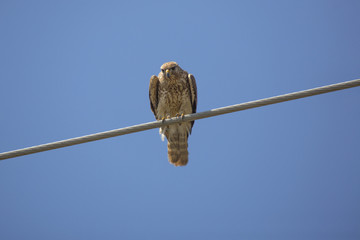 Red-shouldered hawk perched on a cable, Florida Everglades.