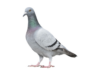 portrait full body of gray color of speed racing pigeon bird isolated white background