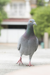 close up full body of speed racing pigeon bird walking on home loft roof