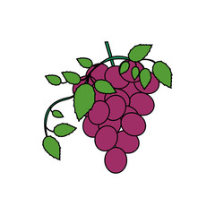 white background with colorful bunch of grapes icon vector illustration