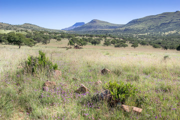 African bushveld with mountain ridge on a hot summer's day - Hot blue sky and springbok in the shade