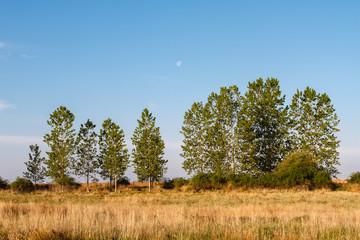 Pradera y Chopos canadienses. Populus canadensis.