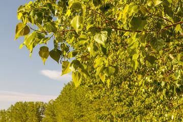 Ramas de chopo canadiense con hojas y racimos de frutos colgantes. Populus canadensis.