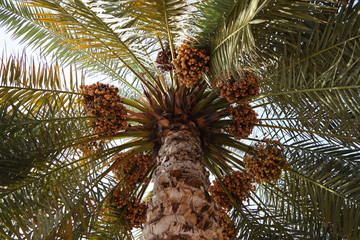 Arabian dates palm