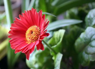 Single red herbera