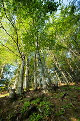 Oak forest in high mountains at high slope; low angle view, wide angle lens;