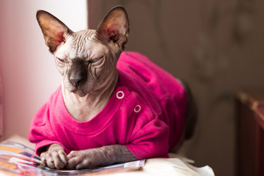 Cat sphinx in pink blouse lying on Journal