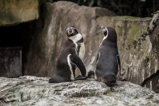 Two cute penguins at zoo in Berlin