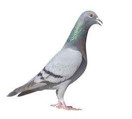 close up side view full body of sport racing pigeon bird isolate white background