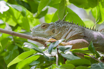 Green iguana lizard sleeping on tree