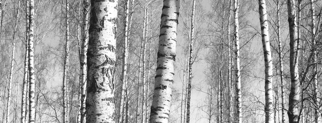 Beautiful landscape with birches. Black and white panorama with birches in retro style. Birch grove in autumn. The trunks of birch trees. Black and white panoramic photo of birch trunks.