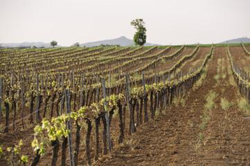 Area of vineyards in spring
