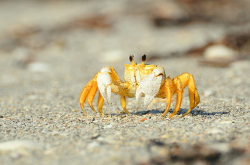 A yellow crab on the beach
