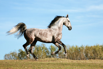 Gray horse galloping in a field