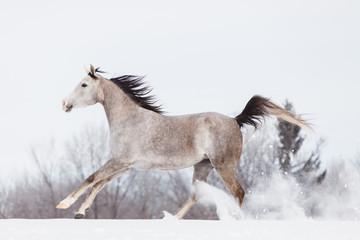 Arabian horse galloping in the snowy field