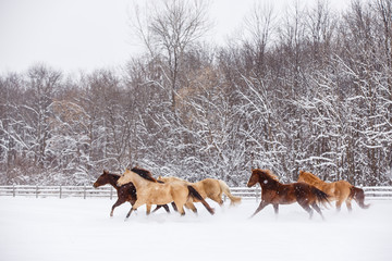 Group of horses running in snow covered rural setting