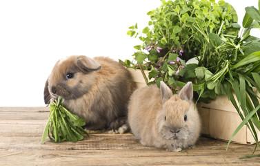 Kaninchen mit frischen Kräutern