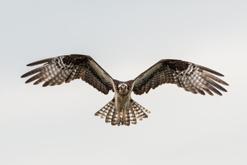 Osprey flying straight towards you isolated against the sky