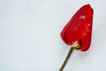 Red tulip on white snow