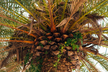 Date palm in Montenegro. Large palm trees.