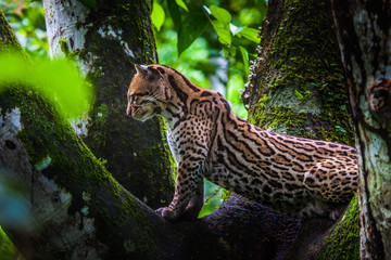 Oncilla. Wild cat on a tree. Wild cats. Ecuador.