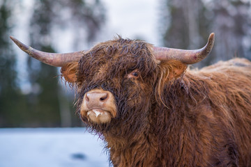 Highland cow in winter landscape