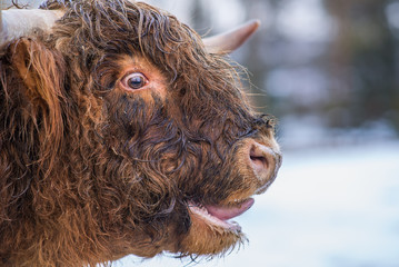 Highland cow mooing loud in a rut