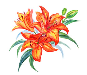 Orange lilies with buds and leaves on a white background, watercolor drawing.